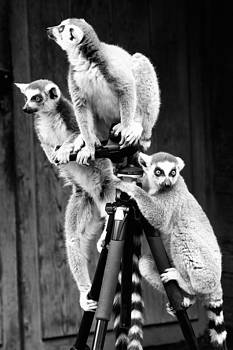 Lemurs perched on tripod by Goyo Ambrosio