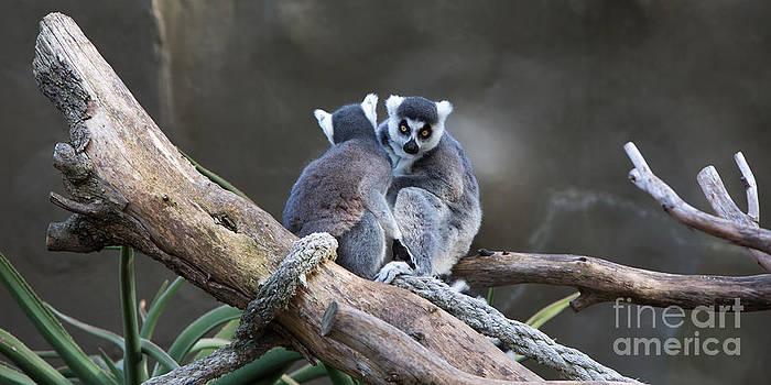 Lemur's by Shannon Rogers