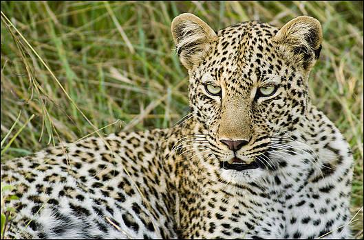 Leopard 1 by Bob Falconer