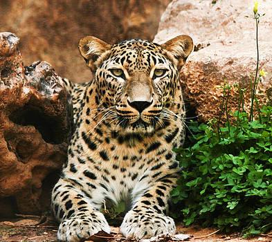 Leopard by Amr Miqdadi