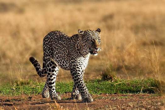 Leopard Binti Masai Mara by Maggy Meyer