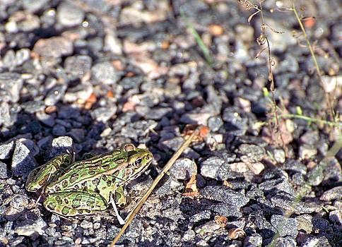 Leopard Frog and Gravel by Andrew Miles