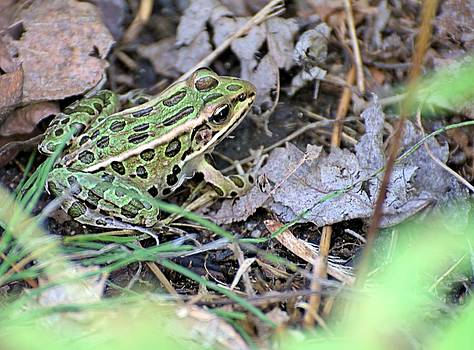 Leopard Frog and Leaf Litter by Andrew Miles
