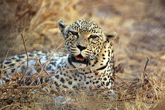 Leopard in Bush by Gordon Donovan