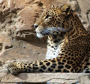 Leopard In Profile by Austin Brown