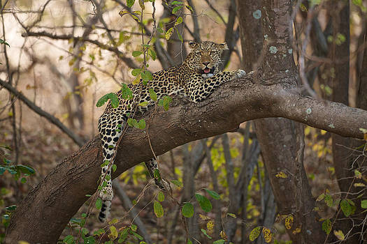 Leopard in tree by Johan Elzenga