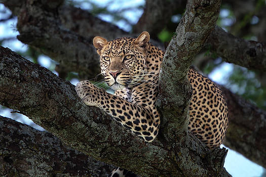 Leopard male in a tree in the Serengeti by Maggy Meyer