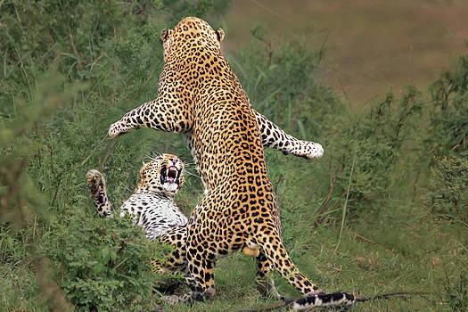 Leopard Mating by Yun Wang