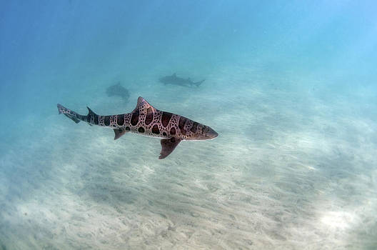 Leopard Shark by Greg Amptman