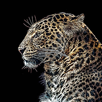 Leopard by Tom Pickering of Photopicks Photography and Art