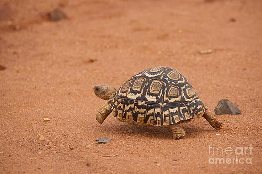 Howard Kennedy - Leopard Tortoise running