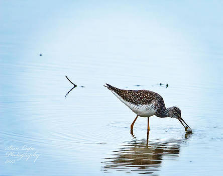 Lesser Yellowlegs with Fish by Stanley Lupo