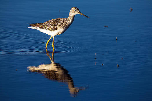 Lessor Yellow Leg  by Gerald Murray Photography