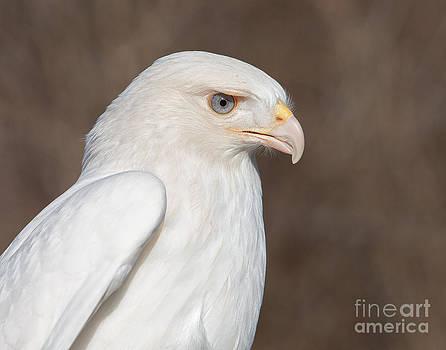 Leucistic Red-tailed Hawk by Joshua Clark