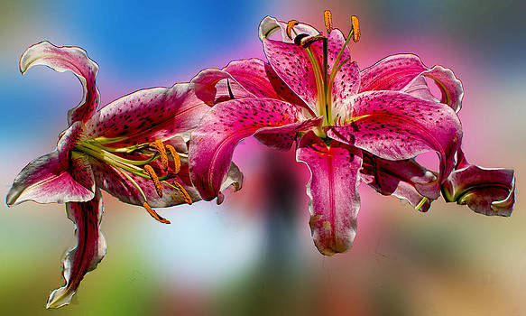 Levitating Lily by Roy Foos