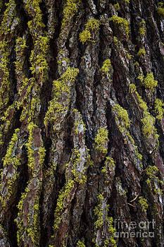 Charmian Vistaunet - Lichen on Pine Bark