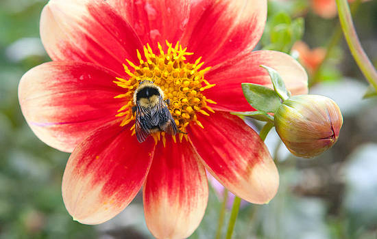Daniel Furon - Life of Flowers - Bumble Bee