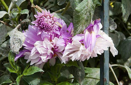 Daniel Furon - Life of Flowers - Dahlias