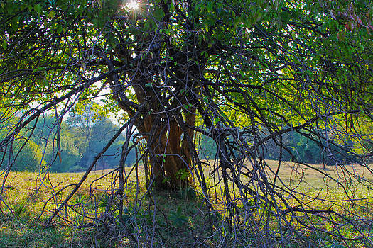Light in the tree by Diana Dimitrova