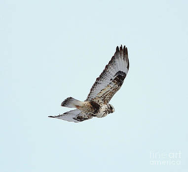 Light morph Rough-legged Hawk by Lori Tordsen