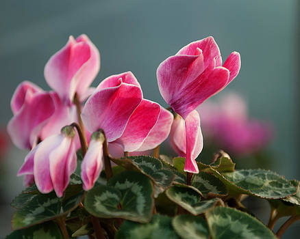 Light pink Cyclamen by Sammy Miller
