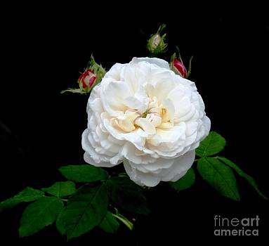 Light pink rose by Bren Thompson