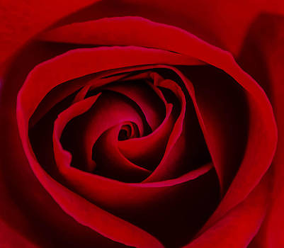 Light red rose. by Slavica Koceva