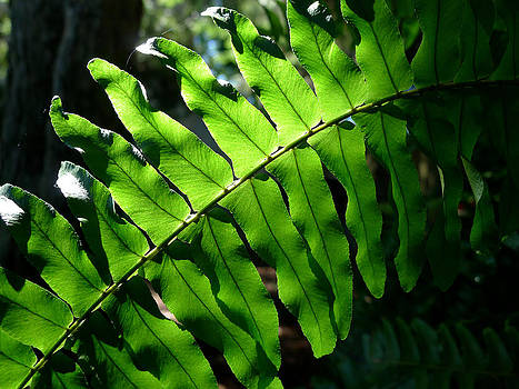 Richard Reeve - Lighted Leaf