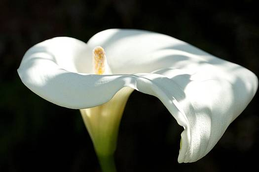 Lighted Lilly by Bonita Hensley
