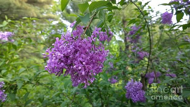 Lilac Bush  by Eunice Miller
