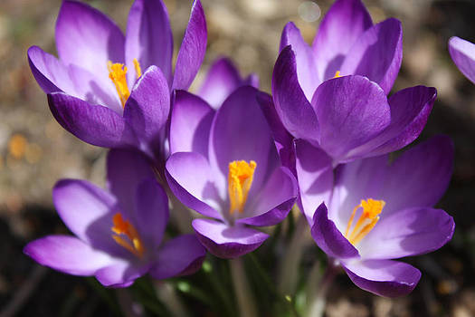 Lilac Crocus - Spring Flower by Jessica Gale