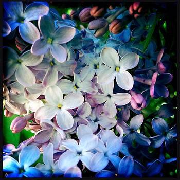 Lilac by Dahiana Herrera