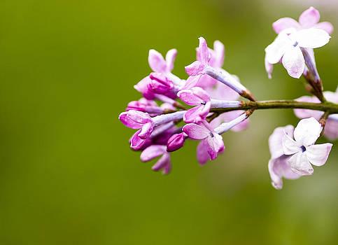 Steven Ralser - Lilac Flowers - Arboretum - Madison