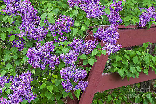 Lilac Profusion by Alan L Graham