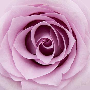Lilac Rose by Gillian Dernie