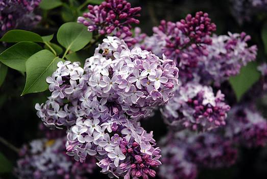 Lilacs by Donna Desrosiers