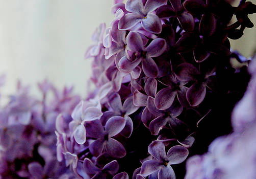 Lilacs in bloom by Lisa Jayne Konopka