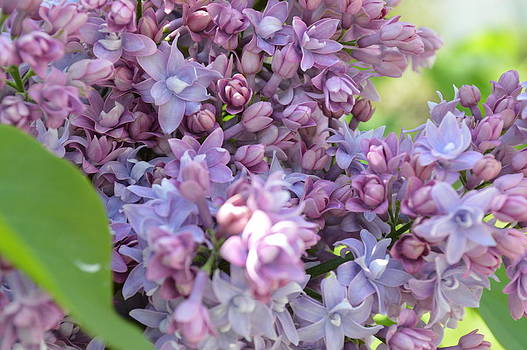 Lilacs by Krissy Small