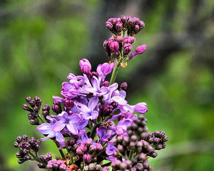 Lilacs by Tim Buisman