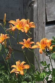 Valerie Kirkwood - Lilies by a Wooden House