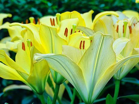 Lilies by Nelin Reisman