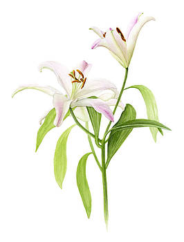 Lilium orientalis 'Stargazer' by Elizabeth Smith