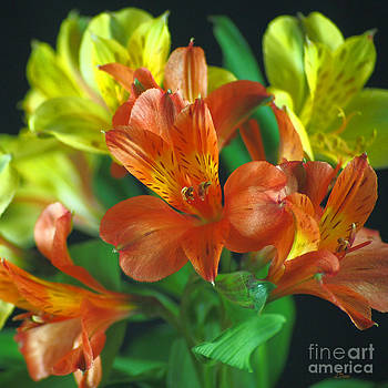 Lillies Galore by Wobblymol Davis