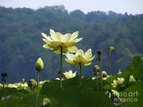 Lilies by Melissa Lightner