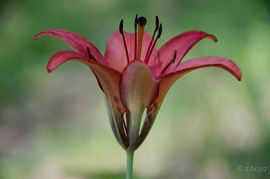 Lillium philadelphicum by Diana Boyd
