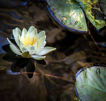 Lilly on Pond by Michael Molumby