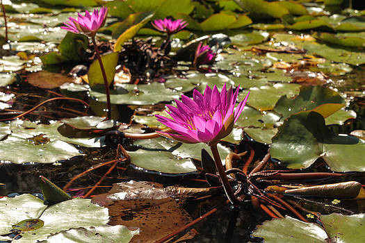 Lilly Pad Garden by Dulce Levitz