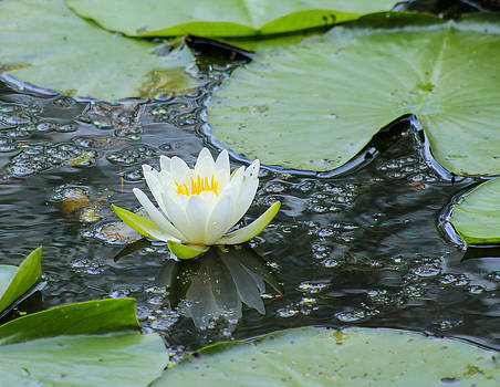 Lilly Pad Pond by Danielle Allard