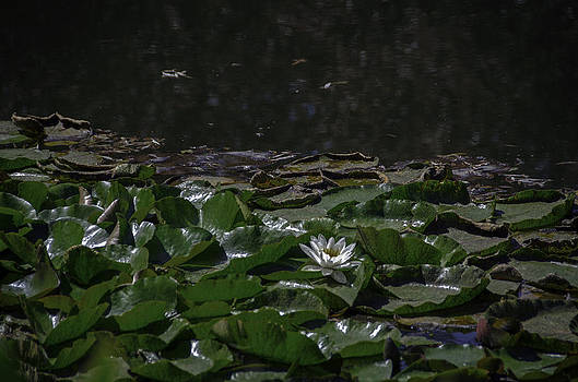 Lilly Pads by Leesa Toliver