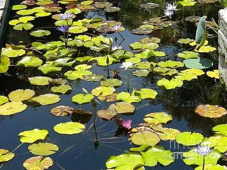 Lilly Pond. by Hilton  Woodside